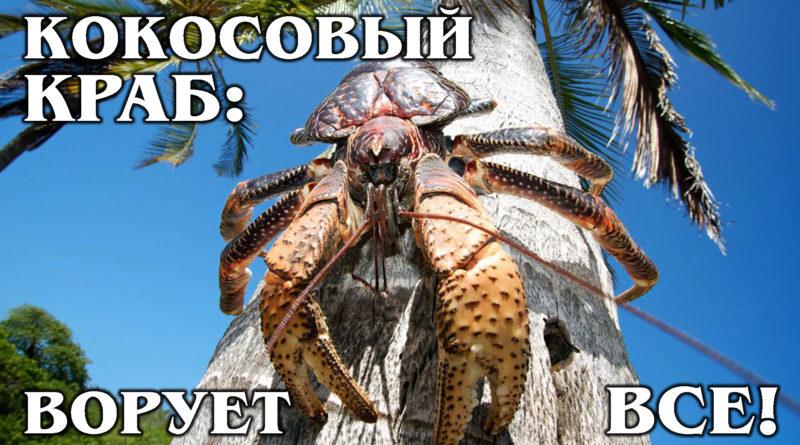 ПАЛЬМОВЫЙ ВОР: Гигантский сухопутный рак-отшельник любит кокосы |Интересные факты про кокосовых крабов и животных