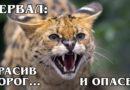 СЕРВАЛ: Самая дорогая дикая кошка может стать домашней | Интересные факты про кошек и животных