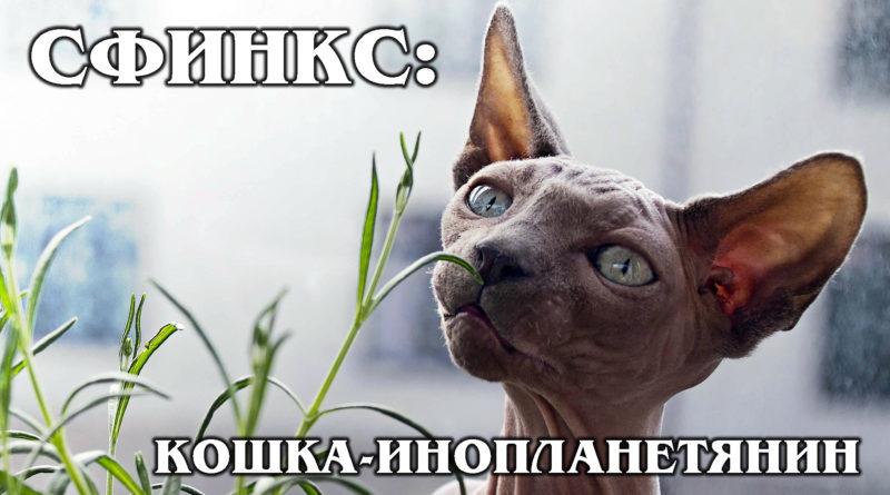 КАНАДСКИЙ СФИНКС: Умная лысая «вонючка» с собачьим характером | Интересные факты про породы кошек и животных