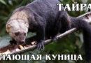 ТАЙРА: Южноамериканская лающая куница и родственница харзы | Интересные факты про куниц и животных