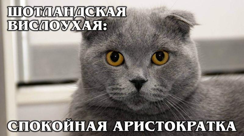 ШОТЛАНДСКАЯ ВИСЛОУХАЯ КОШКА: Умная и спокойная аристократка | Интересные факты про породы кошек и животных