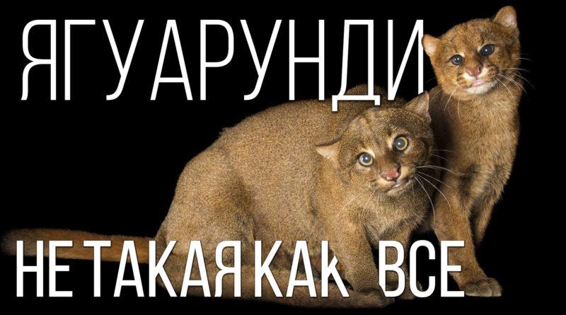 ЯГУАРУНДИ: Странная кошка, которая «охотится» на фрукты | Интересные факты про кошек и животных