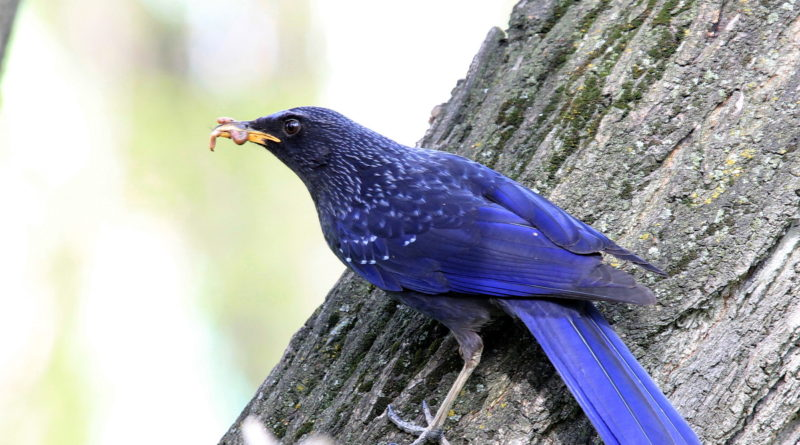 """Лиловый дрозд: """"Синяя птица счастья"""" - существует!"""