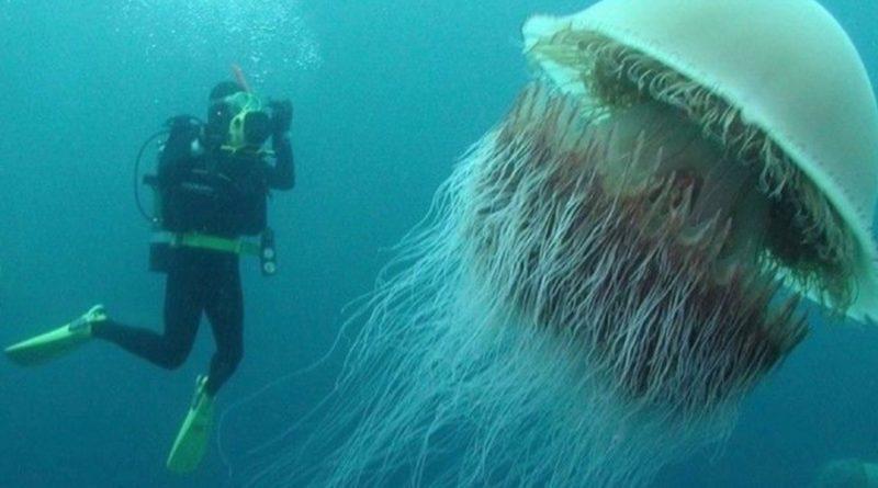 Волосистая ционея: Медуза, которая длиннее кита
