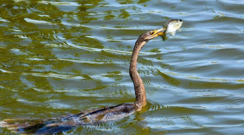 Американская змеешейка: Птица или змея?