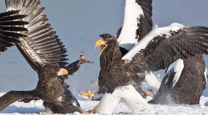 Белоплечий орлан: Крупнейшая птица Дальнего Востока