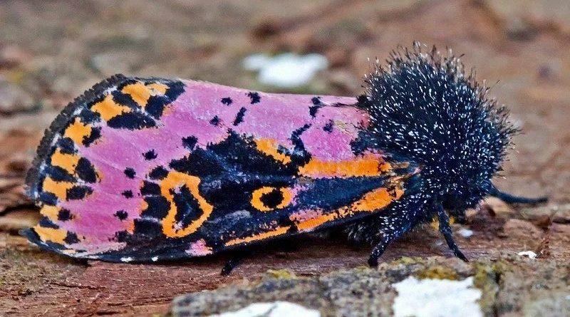 Испанская моль: Красивое насекомое