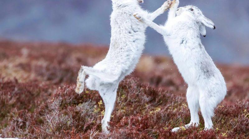 Заяц-беляк: Совсем не пугливый зверь