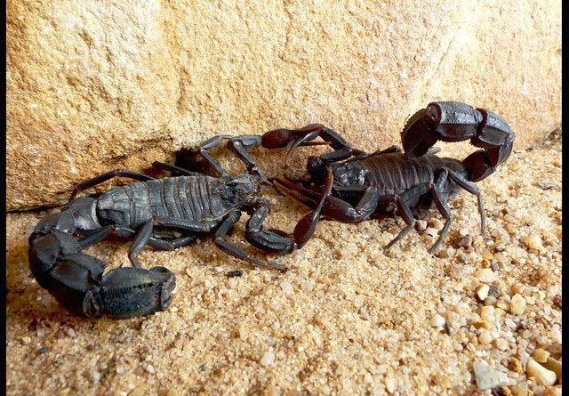 Толстохвостый скорпион: Стреляет ядовитым токсином