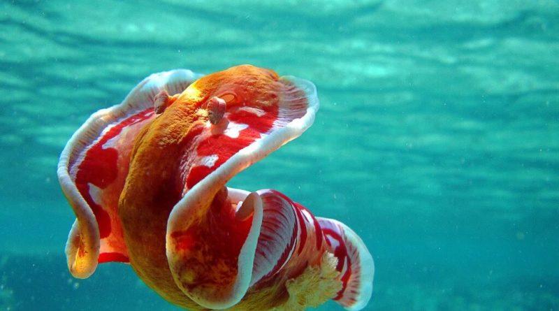 Испанский танцор: Гигантский ядовитый моллюск