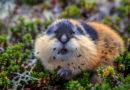 Лемминги: Любимое лакомство для полярных сов