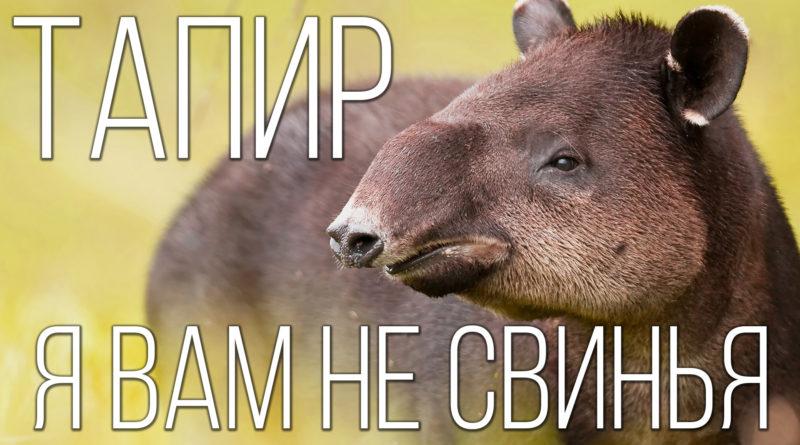 АПИР: Он вам не свинья, а древняя лошадь | Интересные факты про тапира и животных