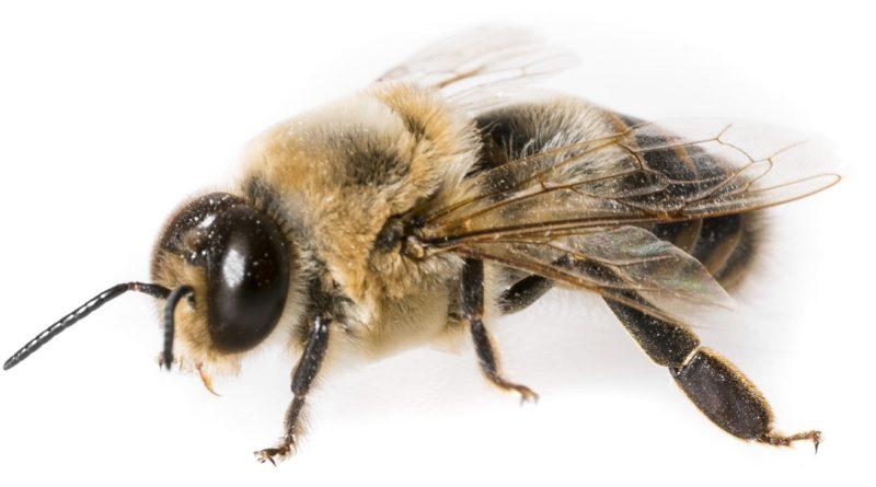 Трутень: Пчела-бездельник