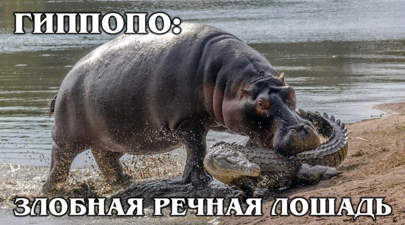 БЕГЕМОТ: «Кровавый» пот и дружба с крокодилами | Интересные факты про бегемотов и животных