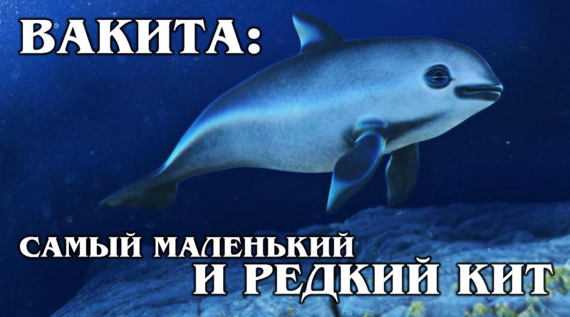 КАЛИФОРНИЙСКАЯ МОРСКАЯ СВИНЬЯ: Вакита – самый маленький и редкий в мире кит | Интересные факты про морских обитателей