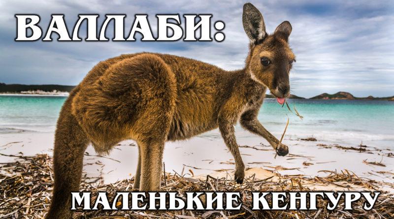 ВАЛЛАБИ: Маленькие кенгуру помогут спасти мир | Интересные факты про сумчатых и животных Австралии
