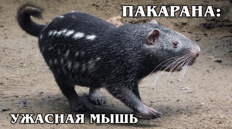 ПАКАРАНА: Добрая «ужасная мышь» - идеальный питомец | Интересные факты про грызунов, питомцев и животных