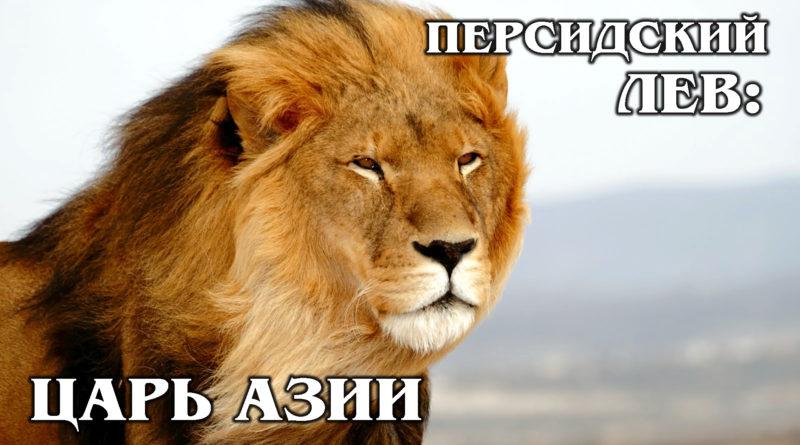 АЗИАТСКИЙ ЛЕВ: Чем индийский лев отличается от африканского? Интересные факты про львов и животных