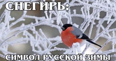 СНЕГИРЬ: «Огненный» пернатый символ русской зимы | Интересные факты про птиц и животных