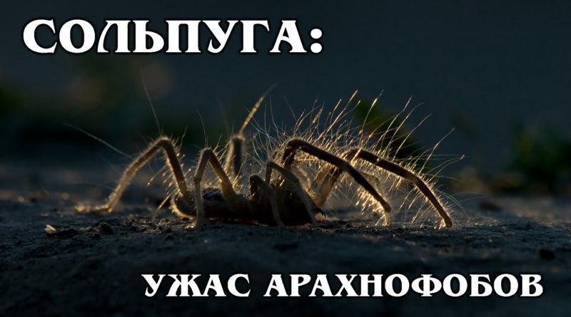 СОЛЬПУГИ: Агрессивные паукообразные хищники воюют со скорпионами | Интересные факты про пауков и животных