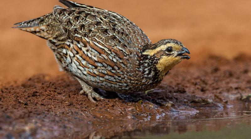Перепёлка: Ядовитая птица
