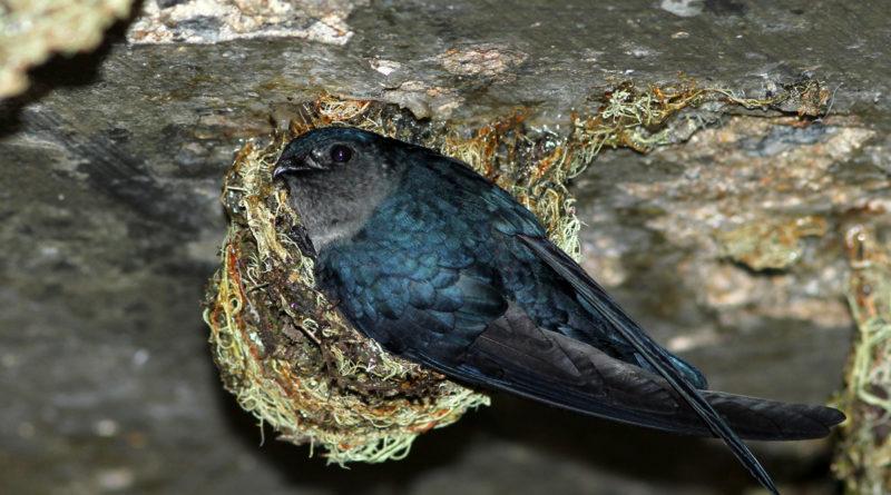 Саланганы: Пещерные стрижи
