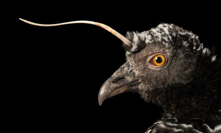 Рогатая паламедея: Птица со странностями