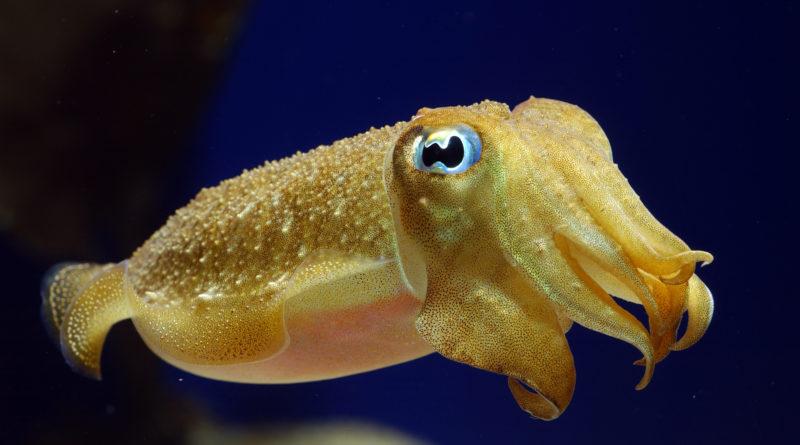 Каракатица: Мстительный моллюск