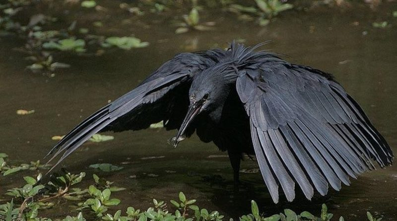 Чёрная цапля: Птица, которая любит прятаться в своих крыльях