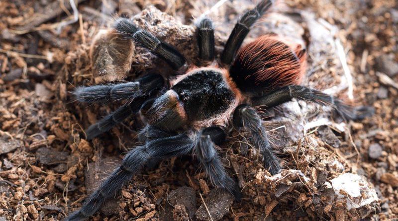 Пауки-птицееды: Охотятся на других пауков