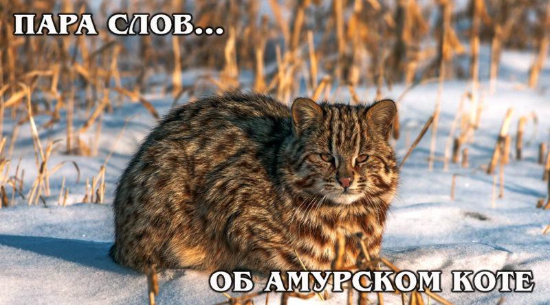 ПАРА СЛОВ... об Амурском дальневосточном лесном коте | Интересные Факты про диких кошек