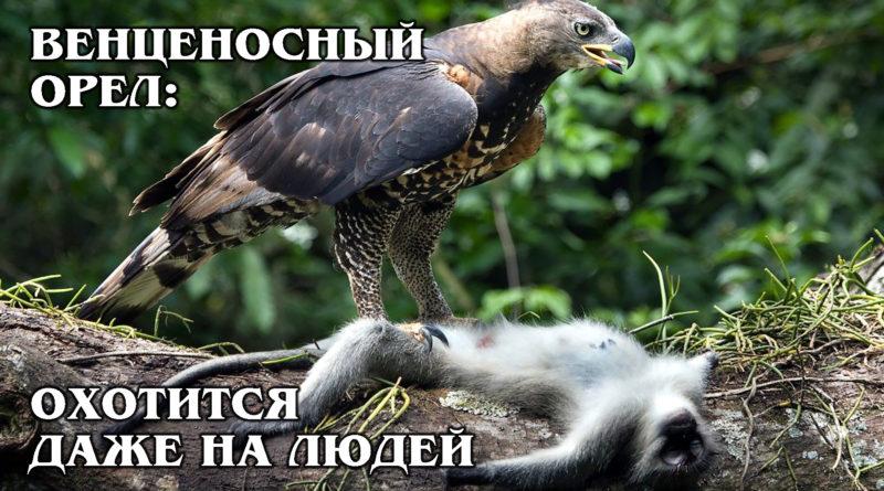 ВЕНЦЕНОСНЫЙ ОРЁЛ: Самая опасная птица Африки и великий тактик | Интересные факты про птиц и животных