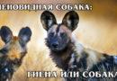 ГИЕНОВИДНЫЕ СОБАКИ: Чем отличается пятнистая гиена от гиеновидной собаки? Интересные факты про гиен и собак