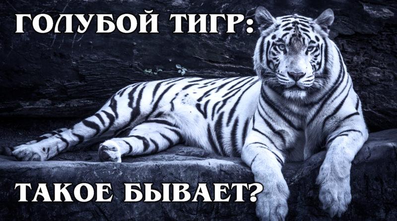 МАЛЬТИЙСКИЙ (ГОЛУБОЙ) ТИГР: Китайские тигры с редкой генетической мутацией | Интересные факты про тигров