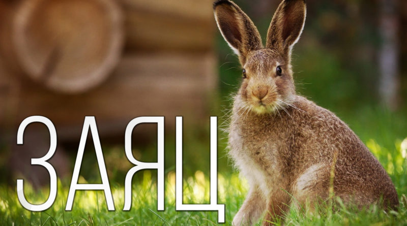 ЗАЯЦ: Он вам не кролик | Интересные факты про зайцев, кроликов и животных Планеты Земля