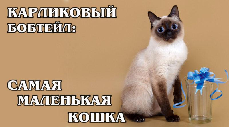 СКИФ-ТОЙ-БОБ: Карликовый бобтейл – самая маленькая в мире порода кошек | Интересные факты про кошек
