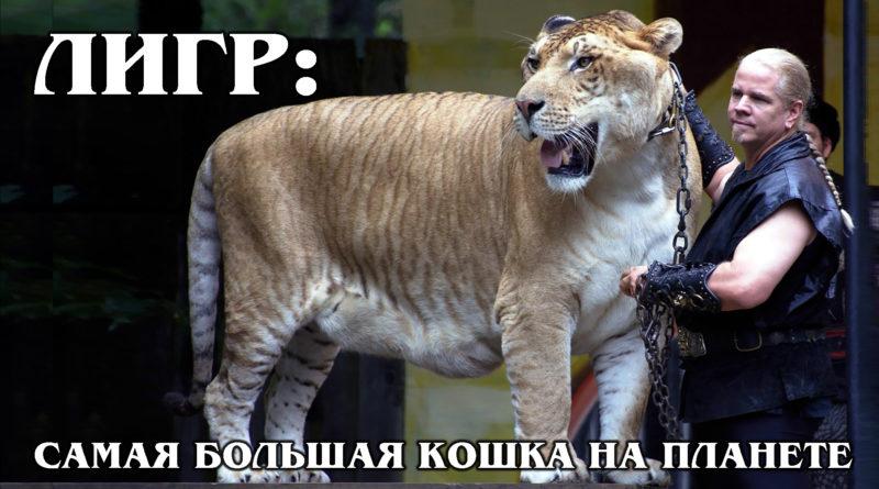 ЛИГР: Гибрид льва и тигра – самый большой экземпляр кошачьих | Интересные факты про больших кошек