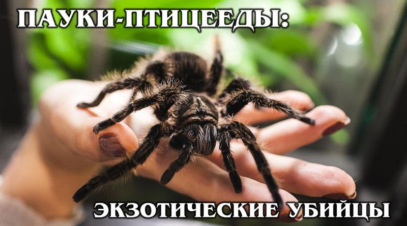 ПАУКИ-ПТИЦЕЕДЫ: Любят охотиться на себе подобных | Интересные факты про пауков и животных