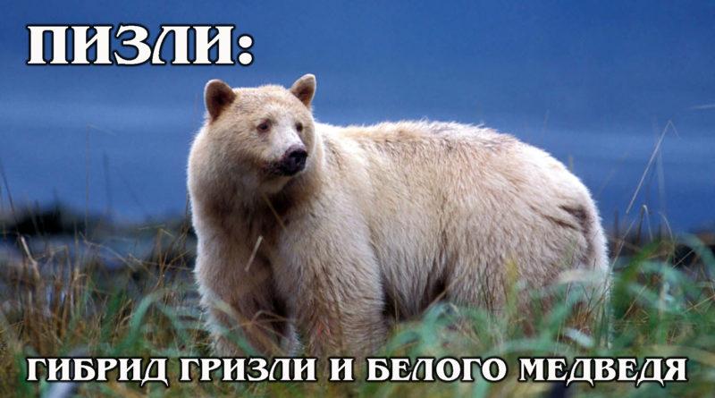 ПОЛЯРНЫЙ ГРИЗЛИ: Гролар - гибрид белого и бурого медведя | Интересные факты про медведей и животных