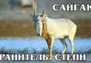САЙГАК: Редкая антилопа быстро бегает и хорошо плавает | Интересные факты про сайгаков и животных Азии