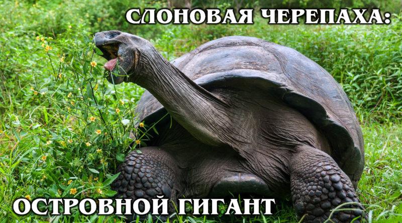 ГАЛАПАГАССКАЯ (СЛОНОВАЯ) ЧЕРЕПАХА: Самая большая черепаха живет 200 лет! Интересные факты про черепах и животных