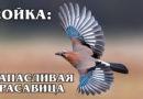 СОЙКА: Имитирует голоса и предупреждает лес об опасности | Интересные факты про птиц и животных