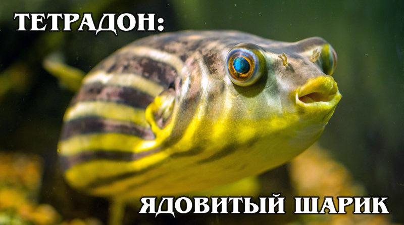ТЕТРАДОНЫ: Милые, но агрессивные рыбы-шарики | Интересные факты про рыб и морских обитателей