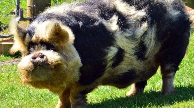 Кун-кун: Порода свиньи от аборигенов Новой Зеландии