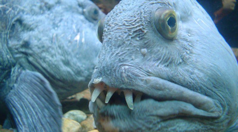 Угревидная зубатка: Добродушный северный «монстр»