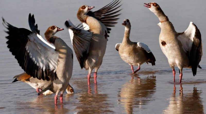 Нильский гусь: Ну очень наглая птица!