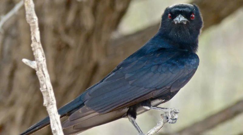 Дронго: Птица, которая защищает сурикатов