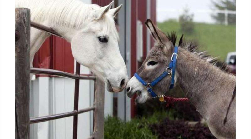 Мул: Древний гибрид ослов и лошадей