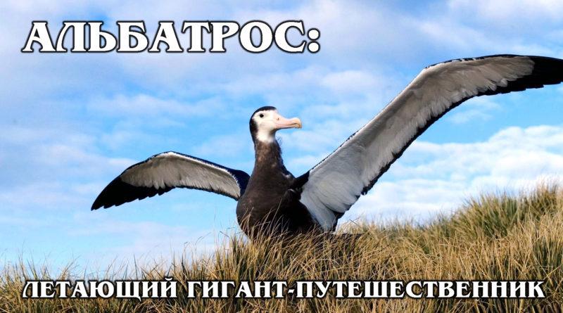 СТРАНСТВУЮЩИЙ АЛЬБАТРОС: Крупнейшая морская птица и эксперт по кругосветным путешествиям | Интересные факты про птиц