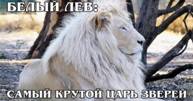 БЕЛЫЙ ЛЕВ: Отдельный подвид львов или альбинос? Интересные факты про львов, тигров и больших кошек Только для спонсоров